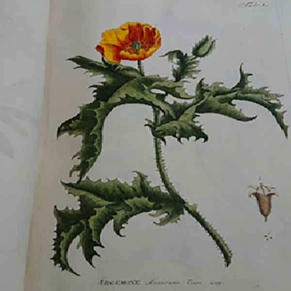 Featured image of Papaveraceae Argemone Mexicana